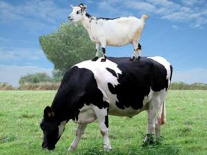 Lactate de Vaca Versus Lactate de Capra
