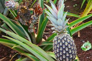 Ananasul – un aliat pentru o viata sanatoasa si activa